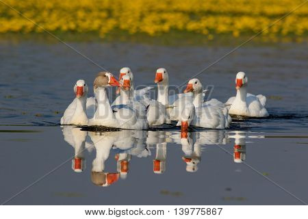 Flock of white domestic geese swiming on the floral pond