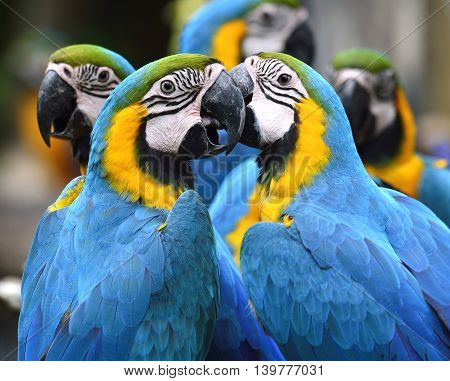 Flock Of Lovely Blue-and-yellow Macaw Parrot Birds (ara Ararauna) Known As The Blue-and-gold Macaw S
