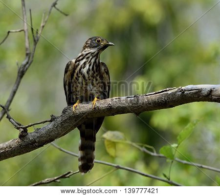 Large Hawk-cuckoo (hierococcyx Sparverioides) The Eagle Hawk With Yellow Eye Rings Perching On The T