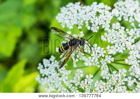 Wasp on flower eating nectar. Insect with yellow and black abdomen and a sting. The world wildlife stinging insects.