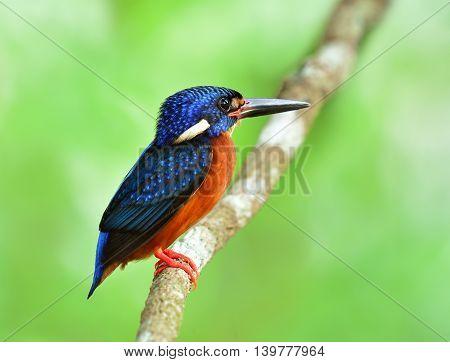Male Of Blue-eared Kingfisher (alcedo Meninting) A Little Beautiful Blue Bird Perching On The Branch