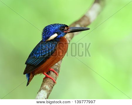 Male Of Blue-eared Kingfisher (alcedo Meninting) Perching On The Branch In Front Of His Nest Hole Wa