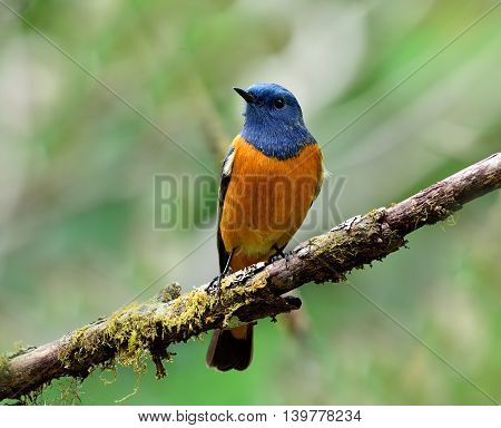 Male Of Blue-fronted Redstart (phoenicurus Frontalis) The Beautiful Blue Bird Perching On The Branch