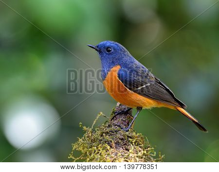 Male Of Blue-fronted Redstart (phoenicurus Frontalis) The Most Colorful Bird Perching On Top Of The