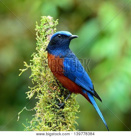Male Of Chestnut-bellied Rock Thrush (monticola Rufiventris) The Beautiful Velvet Blue And Chestnut