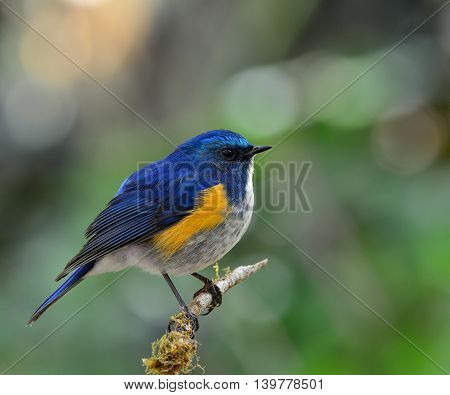 Male Of Himalayan Bluetail (tarsiger Rufilatus) The Beautiful Chubby  Blue Bird Perching On The Bran