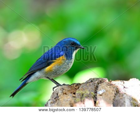 Male Of Himalayan Bluetail (tarsiger Rufilatus) The Cute Blue Bird Standing On The Wooden Ground Wit