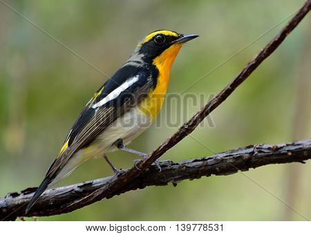 Male of Narcissus Flycatcher (ficedula zanthopygia) the beautiful yellow with black and grey feathers perching on the branch with fine green blur background