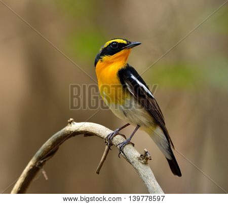 Male of Narcissus Flycatcher (ficedula zanthopygia) the beautiful yellow with black and grey color perching on the curv branch showing its neck yellow feathers