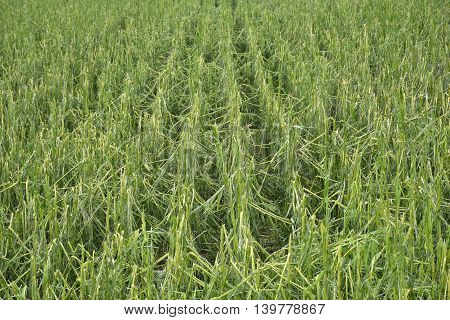 cornfield with severe damage by hail and thunderstorm