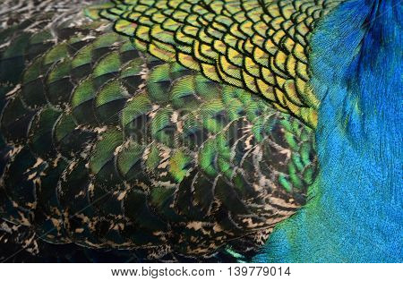 The Vevet Blue, Green Quill And Body Feathers On Green Peafowl Or Indian Peacock, The Colorful Textu