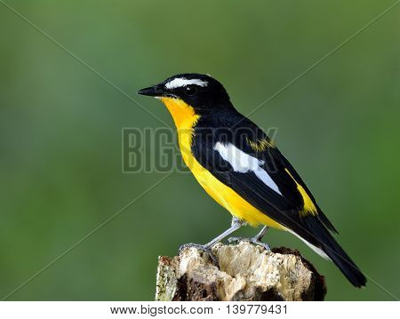 Yellow-rumped Flycatcher (ficedula Zanthopygia) The Beautiful Yellow Bird Perching On Wooden Log Wit