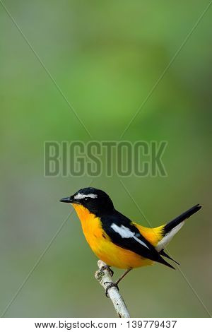 Yellow-rumped Flycatcher (ficedula Zanthopygia) The Beautiful Yellow Bird Wagging Its Tail In Vertic