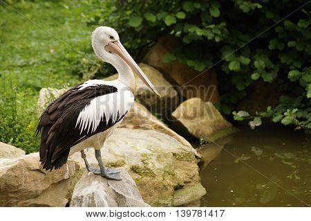 Australian Pelican (Pelecanus conspicillatus) sitting on stone