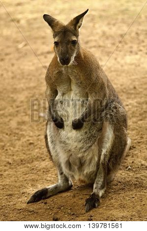 Red - necked Wallaby ( Macropus rufogriseus )