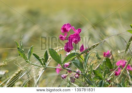 Common Vetch In The Grain Field
