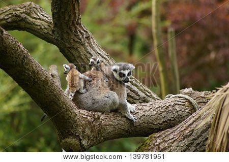 Ring - tailed lemur with her cute babies (Lemur catta)