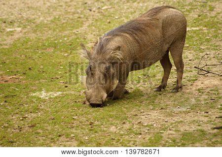 Common Warthog ( Phacochoerus africanus africanus ) feeding