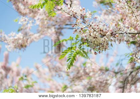 Cassia bakeriana tree with pink flowers, also called Thailand Sakura