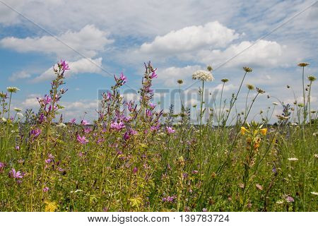 Beautiful Wildflower Meadow With High Mallow Flowers