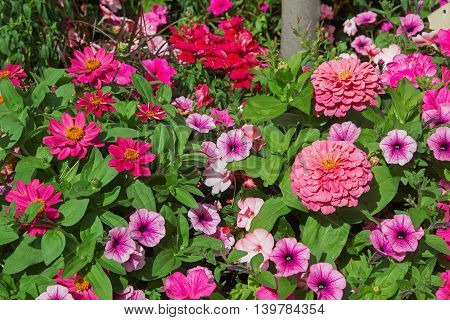 Flowerbed With Petunias And Zinnias