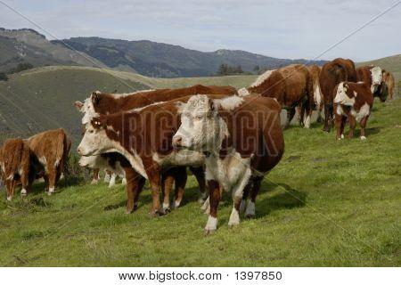 Suspicious Cows