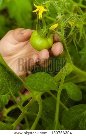 girl hand takes unripe green tomato with yellow flower