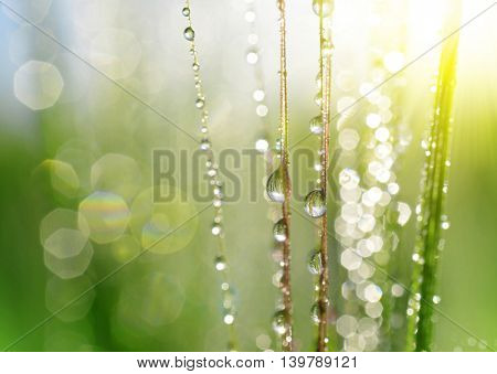 Dew drops on barley ear close up. Soft focus. Nature background.