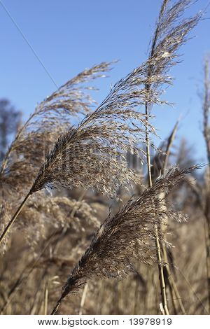 Panicle Of Reed In Winter