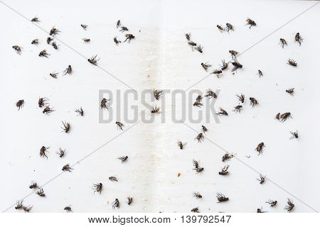 Flies caught on white sticky fly paper trap