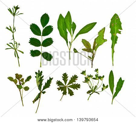 Set of dry green leaves isolated on white background. Herbarium