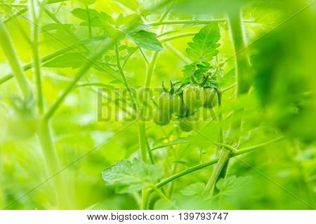 Young Unripe Tomatoes Growing In Garden In Summer
