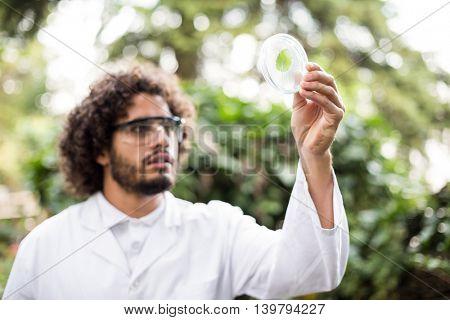 Male scientist examining leaf on petri dish at greenhouse