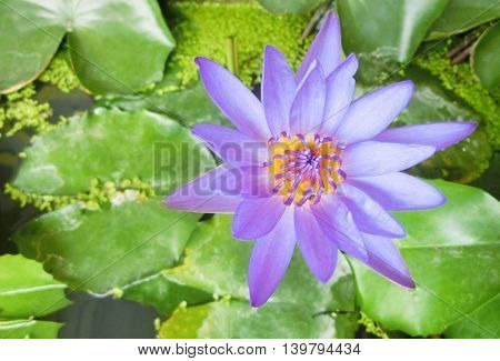 Beautiful Purple Lotus on blur Lotus leaf green.