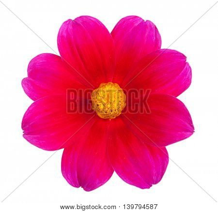 garden flower dahlia Merry guys