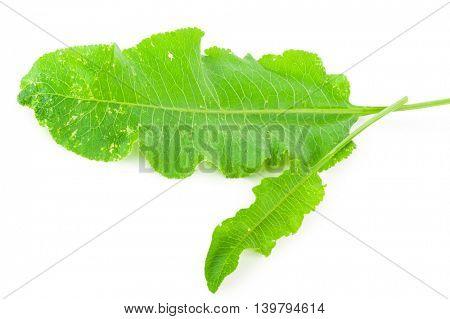 horseradish leaf