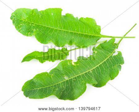 horseradish leafs