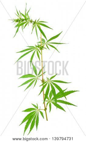 Cannabis (marijuana) plants