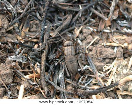 Brown Bug Cricket