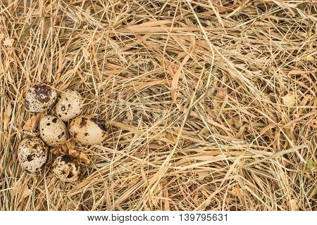 Quail eggs in a nest on dry hay background