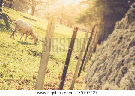 Sheep in Field bathed in Sunlight with Selective Focus