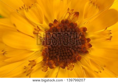 yellow stamens and petals of a daisy close up