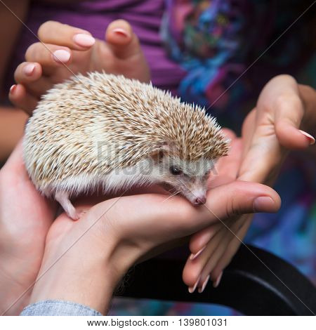 small prickly hedgehog in the hands of people