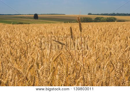 A large number of ears of wheat growing in the field