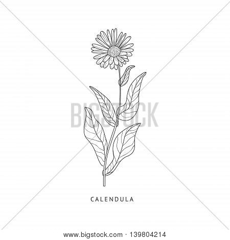 Calendula Medical Herb Hand Drawn Realistic Detailed Sketch In Beautiful Classic Herbarium Style On White Background