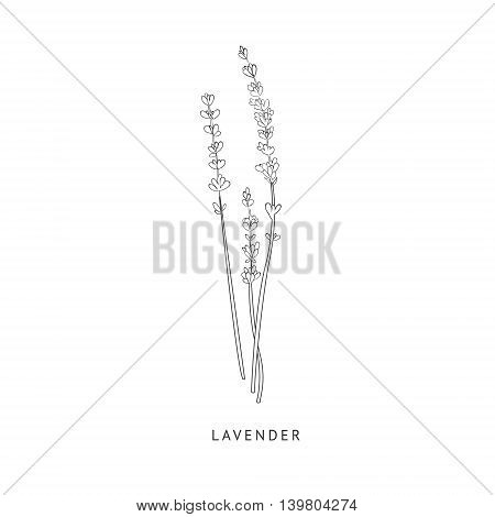 Lavender Medical Herb Hand Drawn Realistic Detailed Sketch In Beautiful Classic Herbarium Style On White Background
