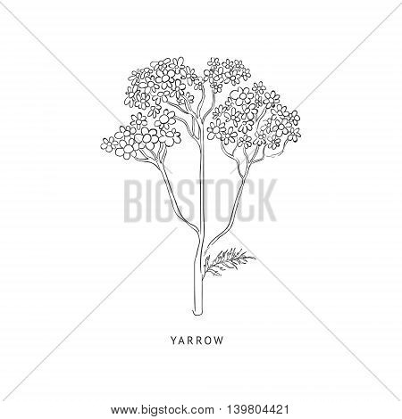 Yarrow Medical Herb Hand Drawn Realistic Detailed Sketch In Beautiful Classic Herbarium Style On White Background