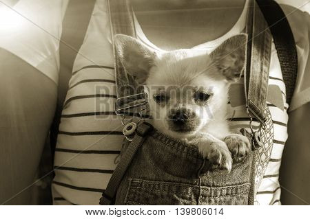 funny puppy in the bosom of the girl at sunset. sepia photo