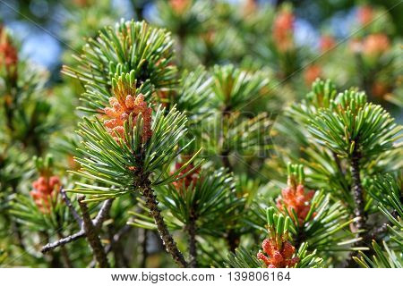 Red Pine. beauty of the red pines.