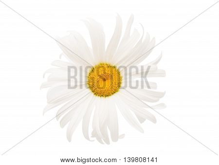 daisy flower single isolated on white background